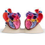 Pediatric heart valve anatomic model printed on ProJet CJP 660Pro using VisiJet PXL + ColorBond infiltrant